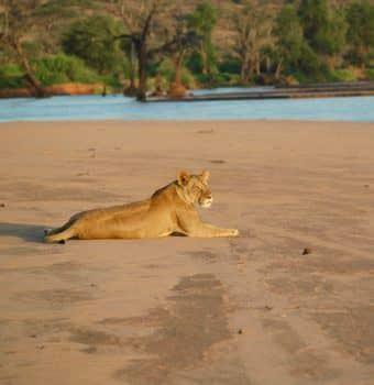 A Community Lioness
