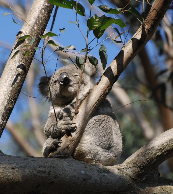 koala_male1