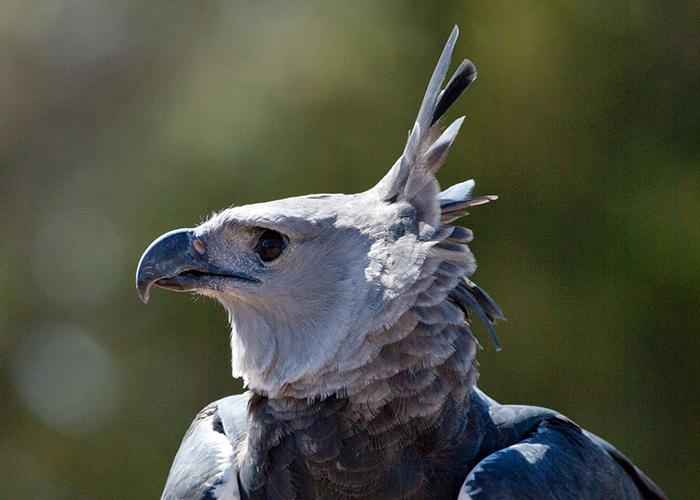 raptor-er-harpy-eagle-portrait