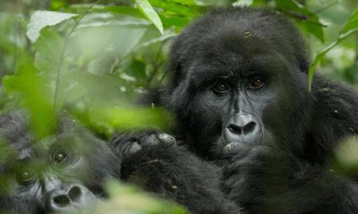 ctph gorillas