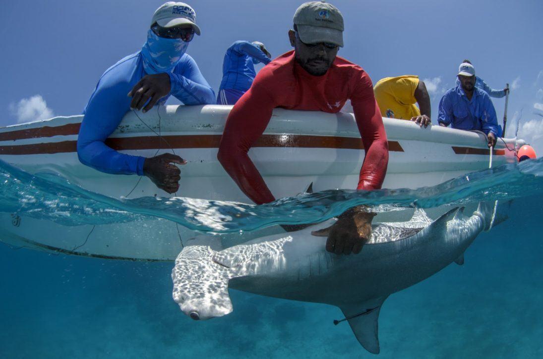 Great Hammerhead shark research_MarAlliance