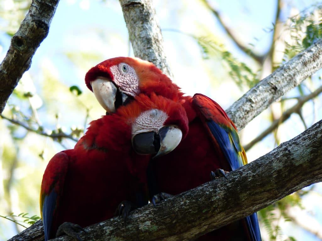 macaw_MRN