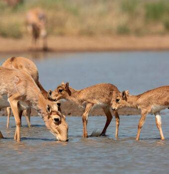 Saiga Herds Begin Flourishing Again