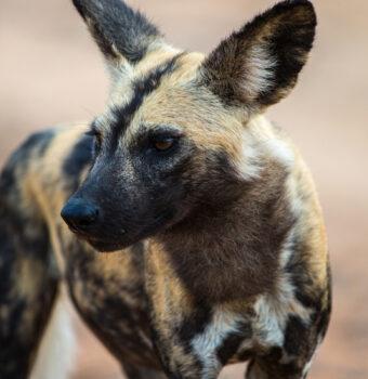 Saving Africa's Largest Wild Canine