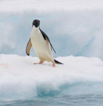 Washington Post: The Penguin Protector